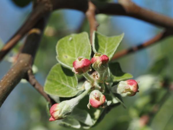 Бутоны яблони